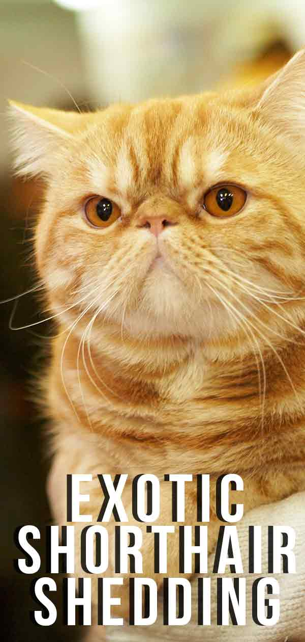Exotic Shorthair Shedding And Grooming Requirements.