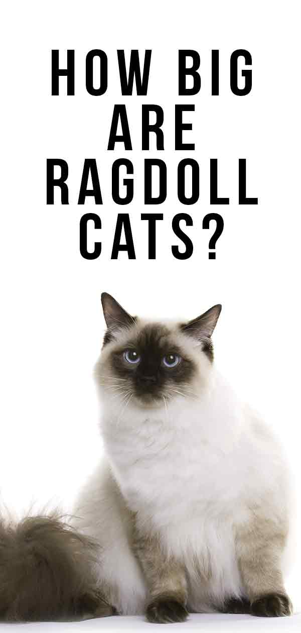 How Big Are Ragdoll Cats? - Your Ragdoll Size Guide