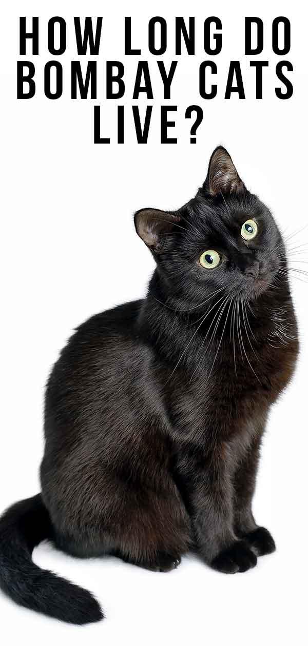 How Long Do Bombay Cats Live?