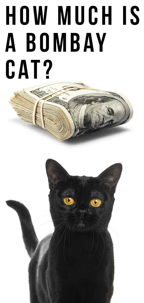How Much Is A Bombay Cat - The Real Price of Buying A Bombay