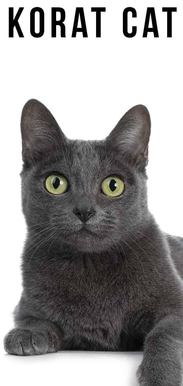 Korat Cat - Perfect, Ancient and Unchanged?