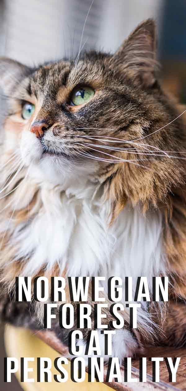 Norwegian Forest Cat Personality And Temperament Traits.