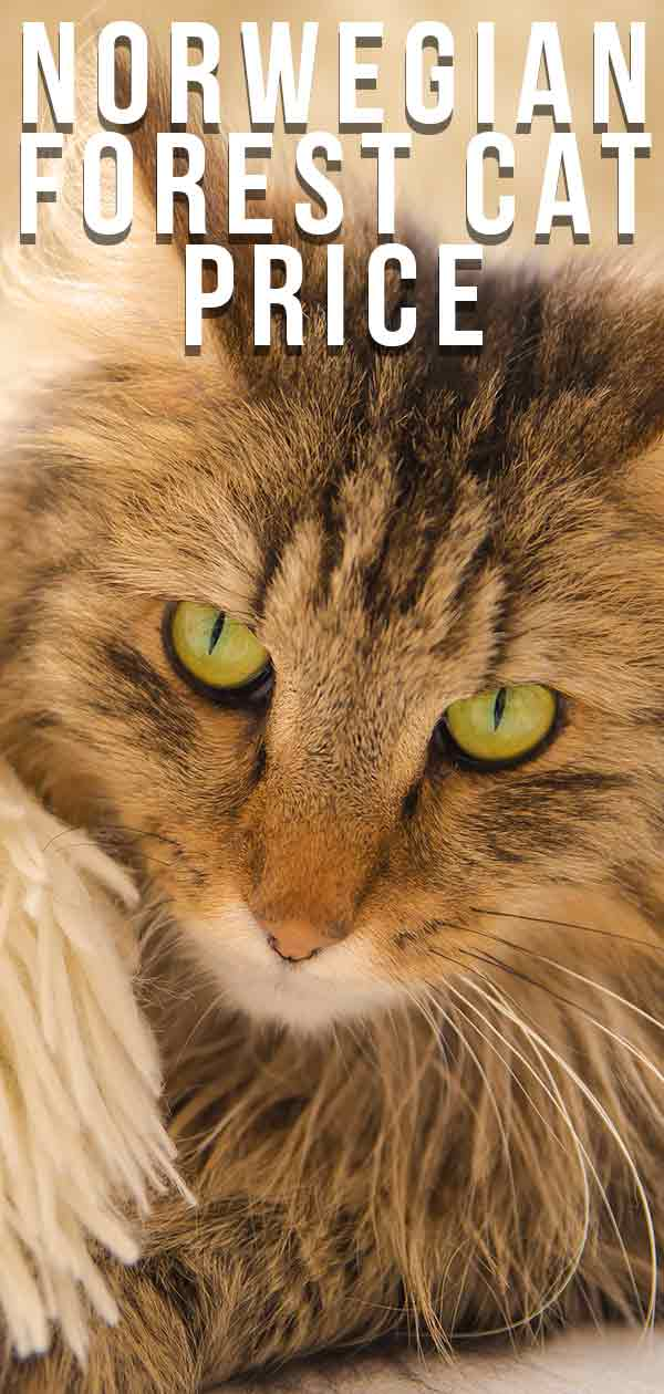 Norwegian Forest Cat Price - How Much Will Your New Kitty Cost?