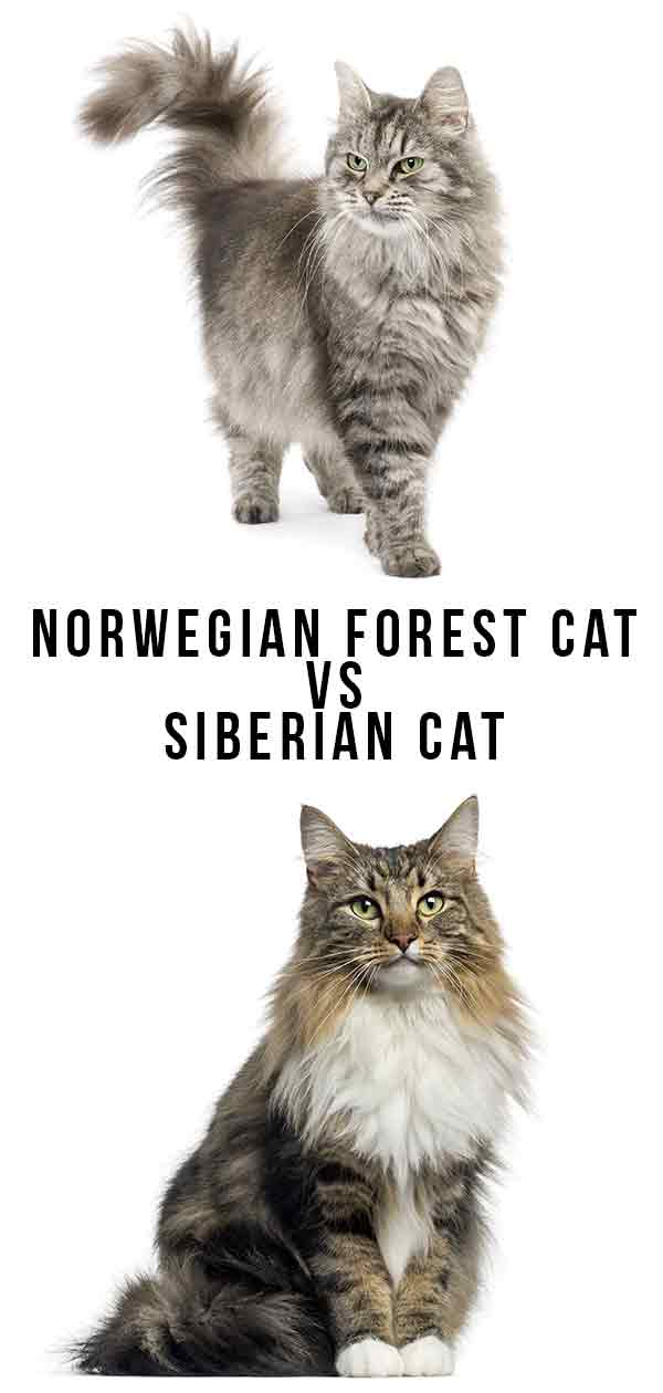 Norwegian Forest Cat vs Siberian Cat - Which To Bring Home?