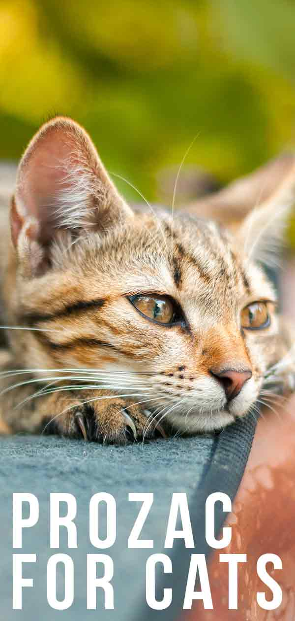 Prozac For Cats - Would Your Cat Feel The Benefits?