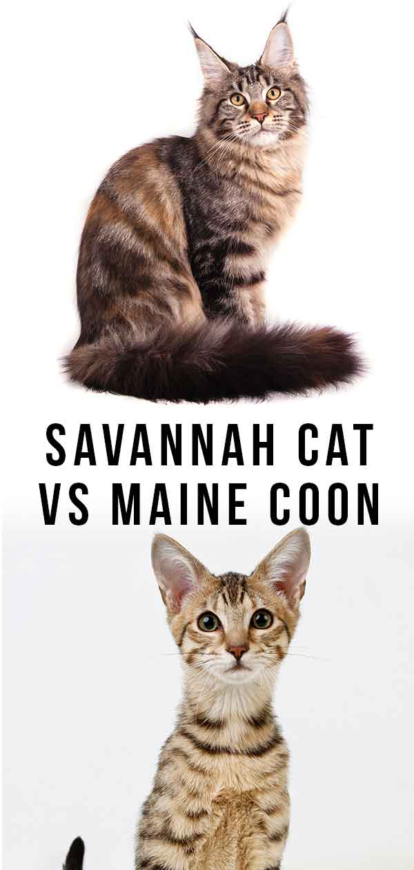 Savannah Cat Vs Maine Coon