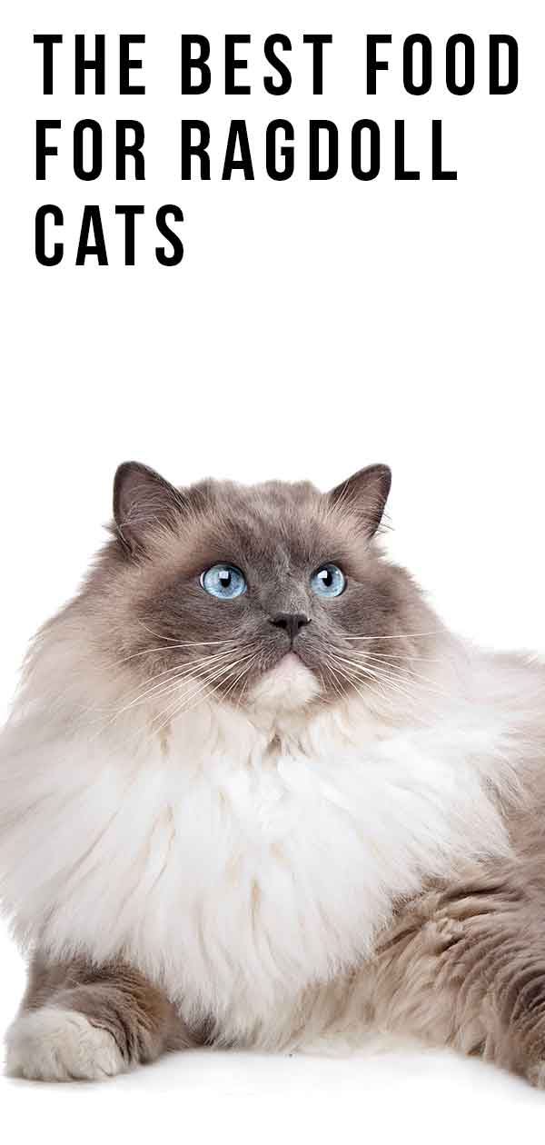 The Best Food For Ragdoll Cats