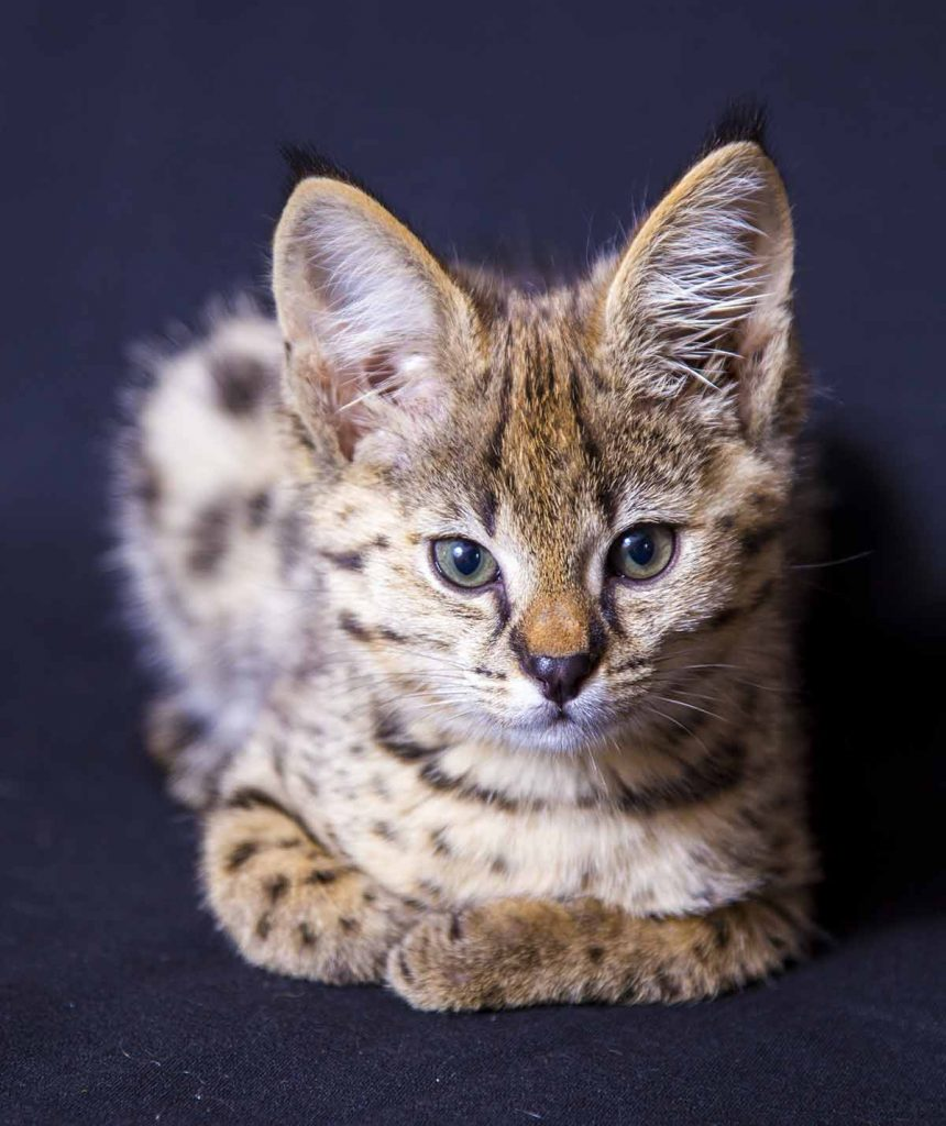 hypoallergenic savannah cat