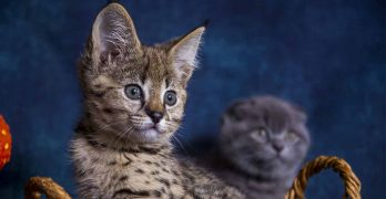 Are Savannah Cats Hypoallergenic? The Search For A Non Shedding Cat
