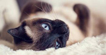 Are Siamese Cats Hypoallergenic And How Much Do They Shed?