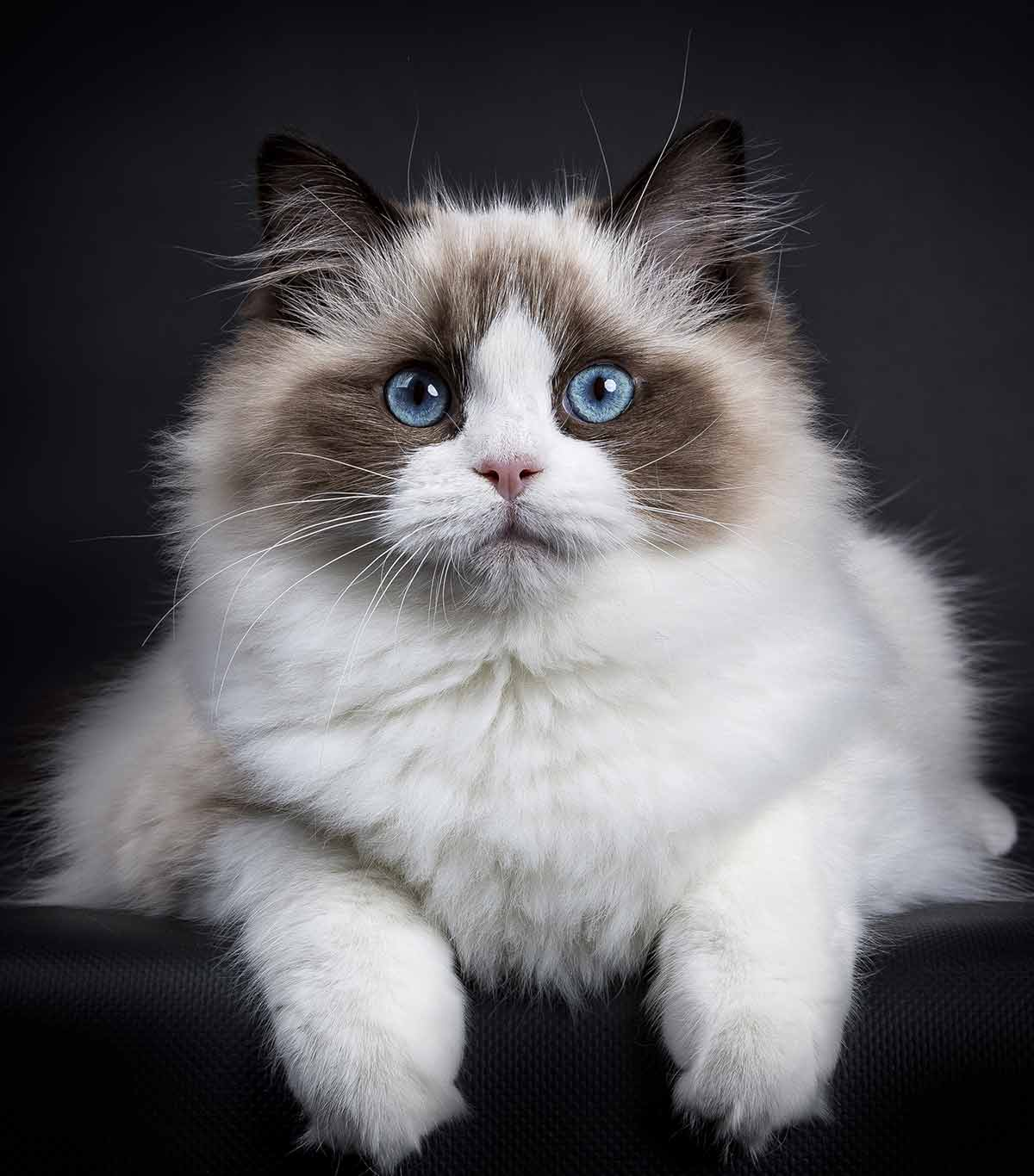 best food for ragdoll cats