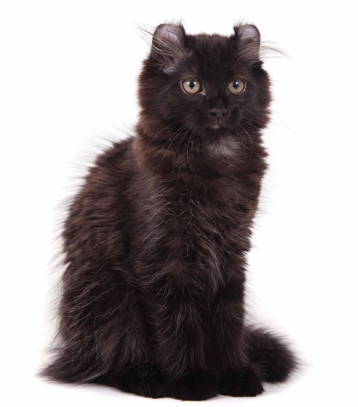 Black Cat Breeds Which Ones Make The Best Pets
