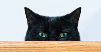 Black Cat Breeds – Which Ones Make The Best Pets?
