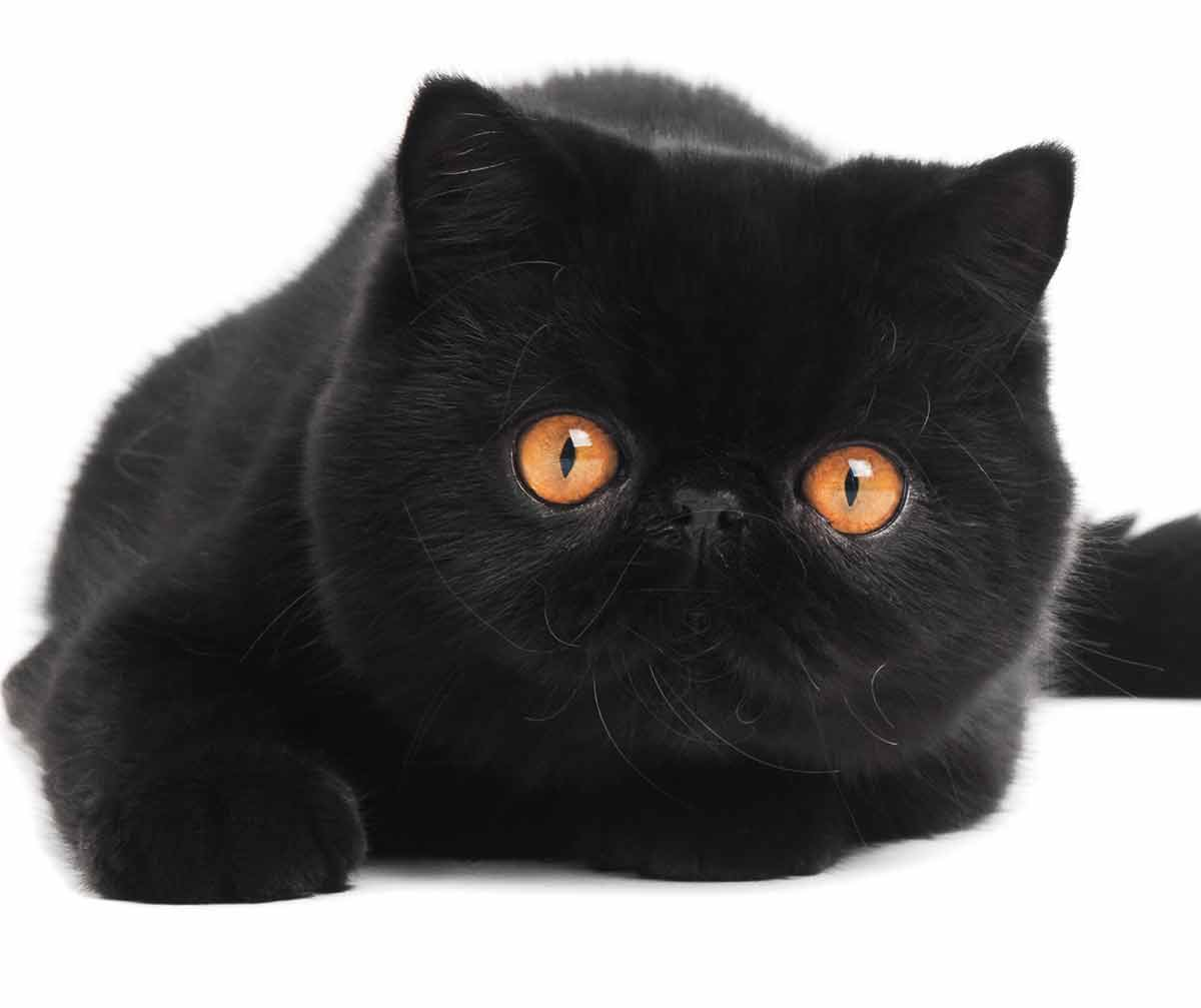 black cat breeds - exotic shorthair