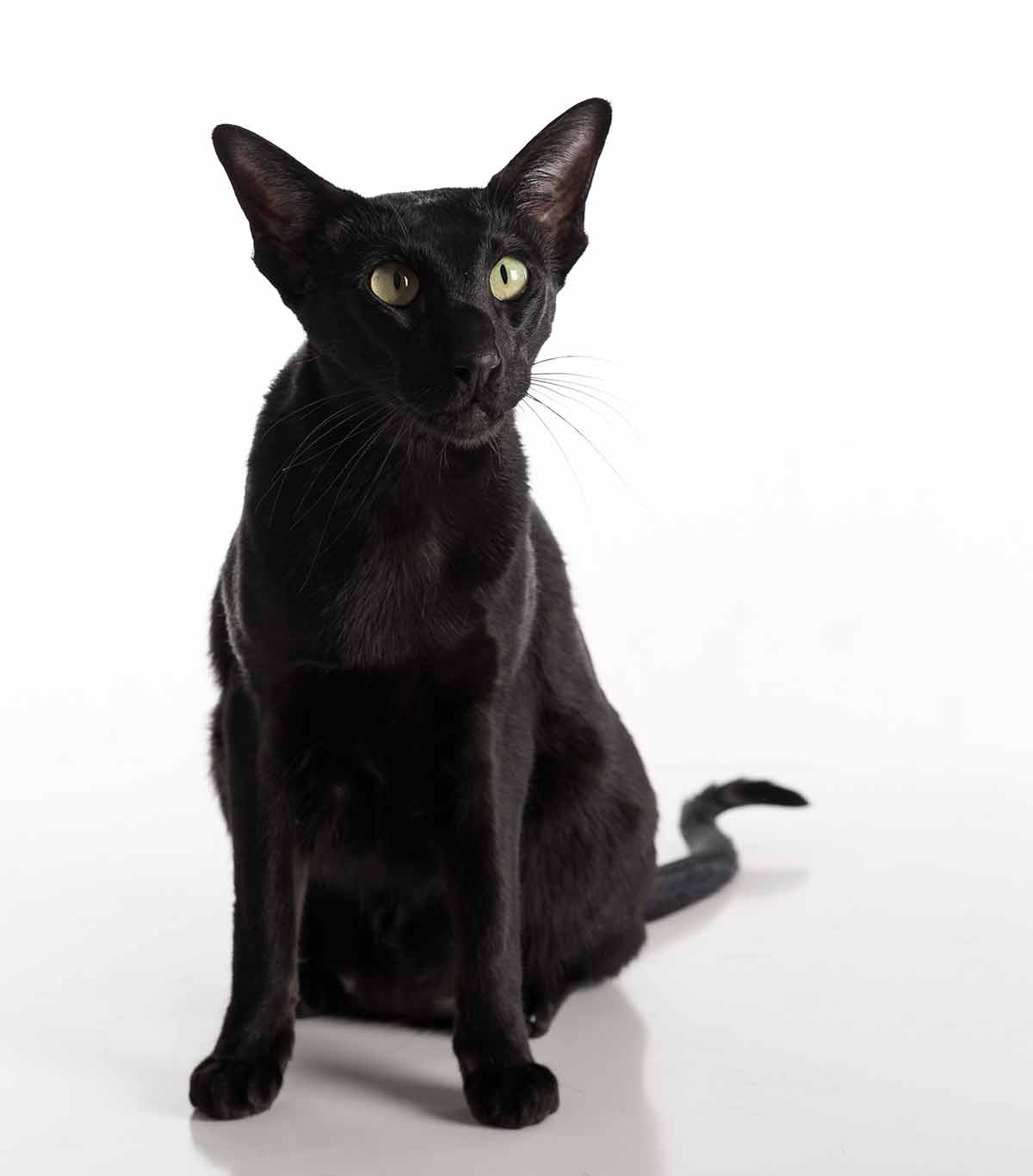 black cat breeds - oriental
