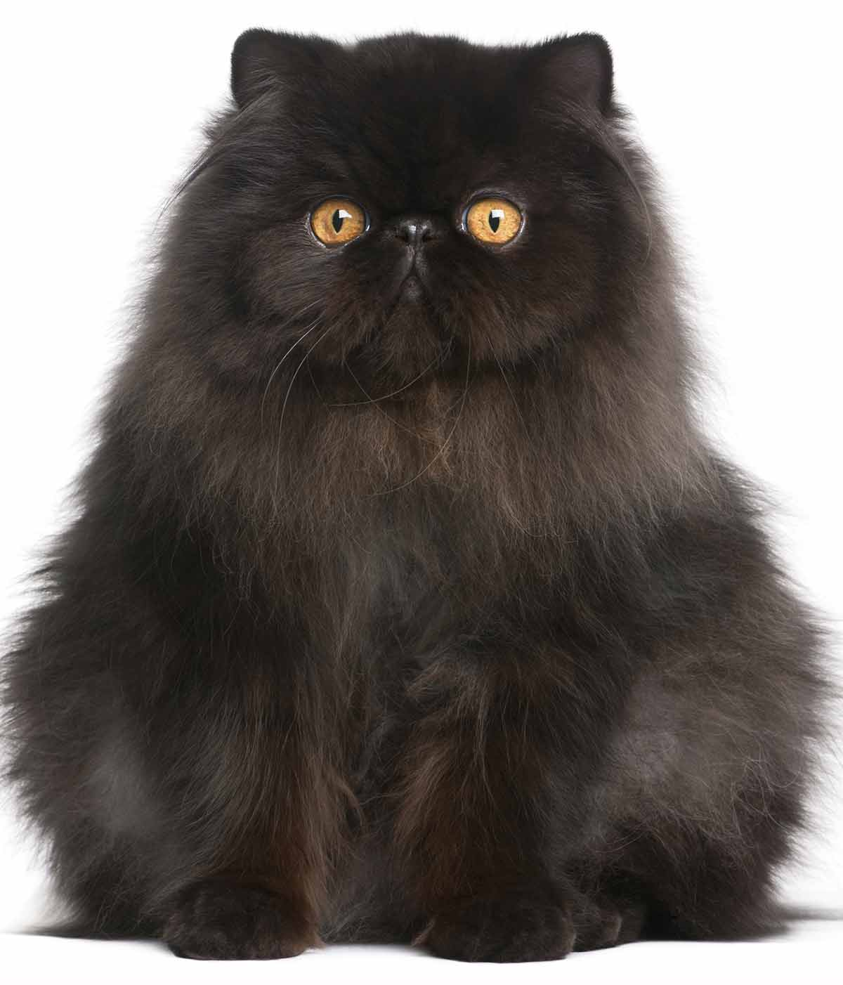 black cat breeds - persian