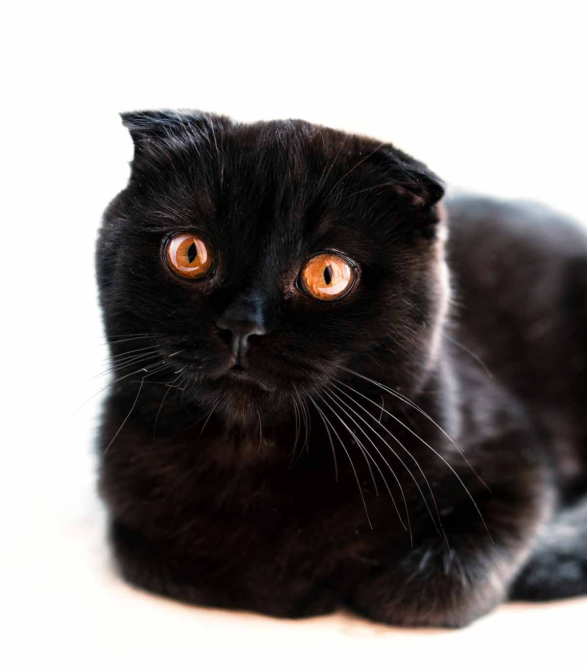 black cat breeds - scottish fold