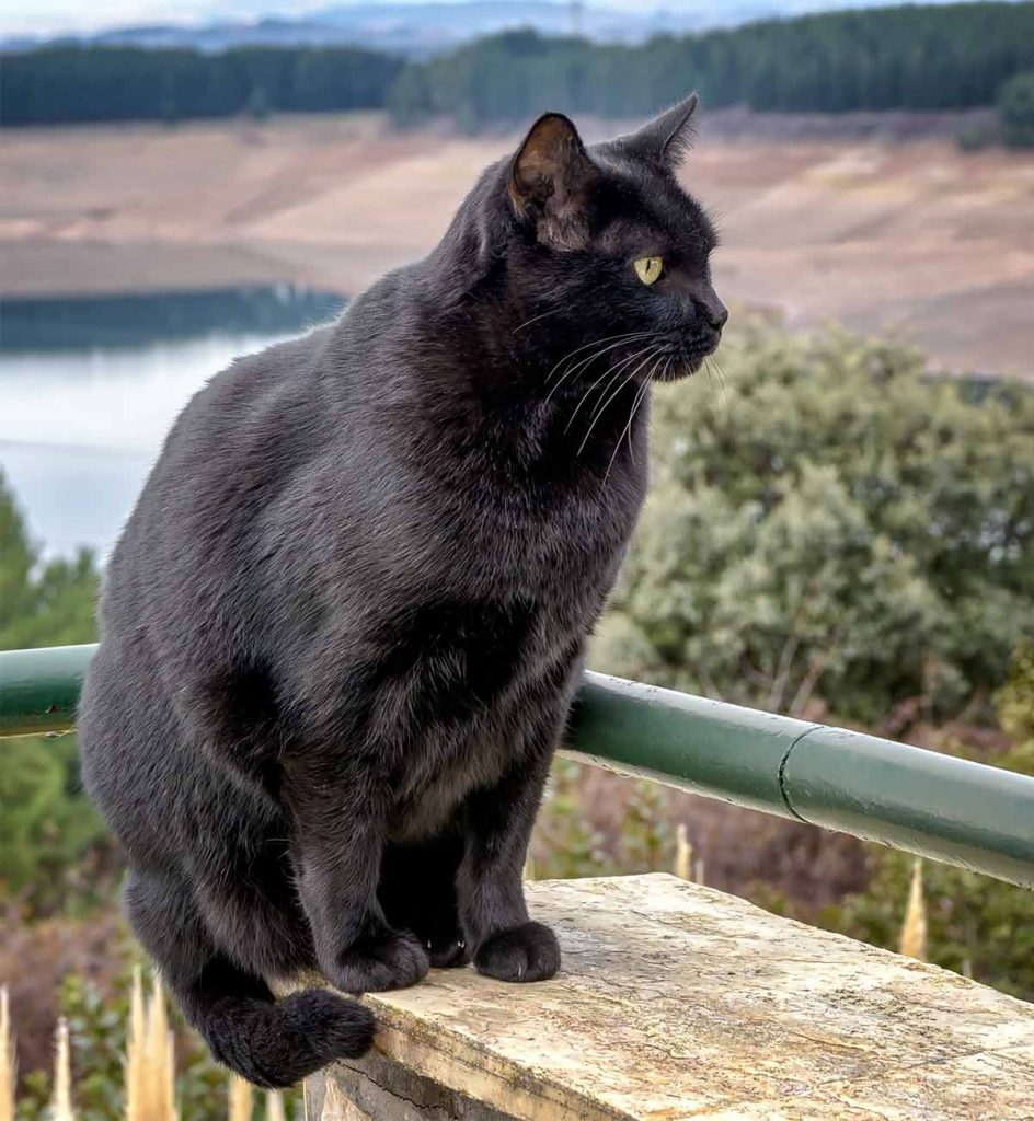 What are some Bombay cat personality traits?