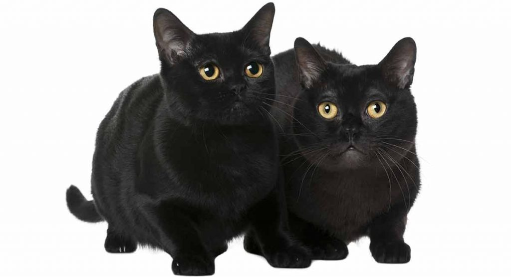 What is a Bombay cat personality like?