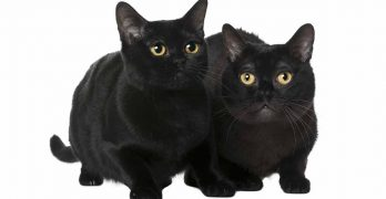 Bombay Cat Personality – How Will Your Black Beauty Behave?