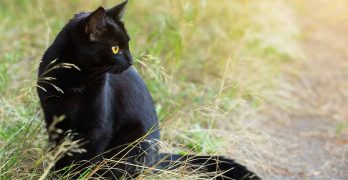 Bombay Cat Size Guide – How Big Do They Grow?