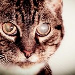 Cataracts In Cats – Causes, Diagnosis And Treatment