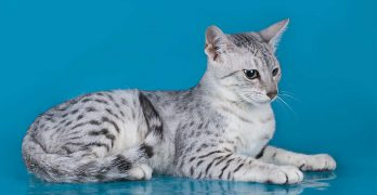 Egyptian Mau Colors – From Silver To Bronze, The Patterns and Shades