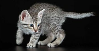 Egyptian Mau lifespan
