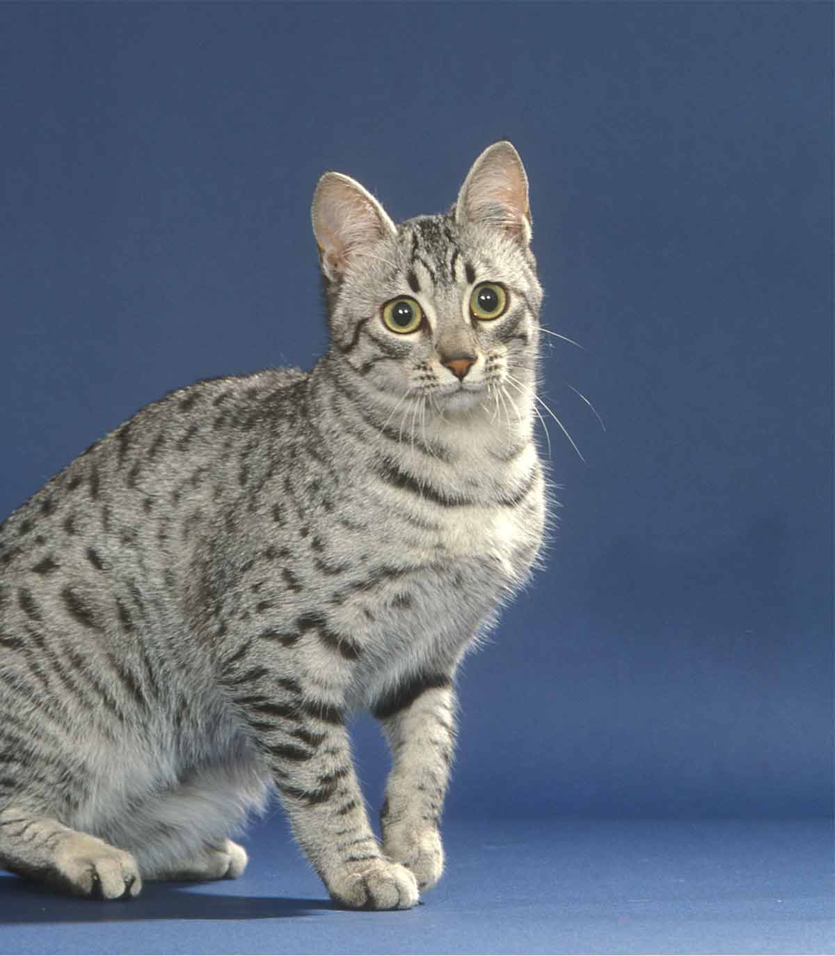 egyptian mau colors