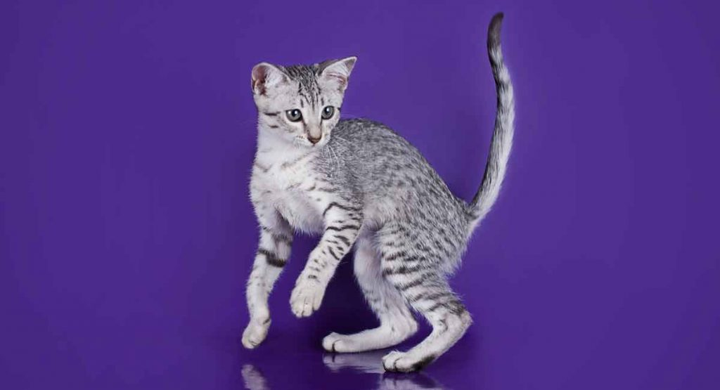 What is an Egyptian Mau personality like?
