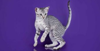 Egyptian Mau Personality – What Are Their Kitty Temperament Traits?