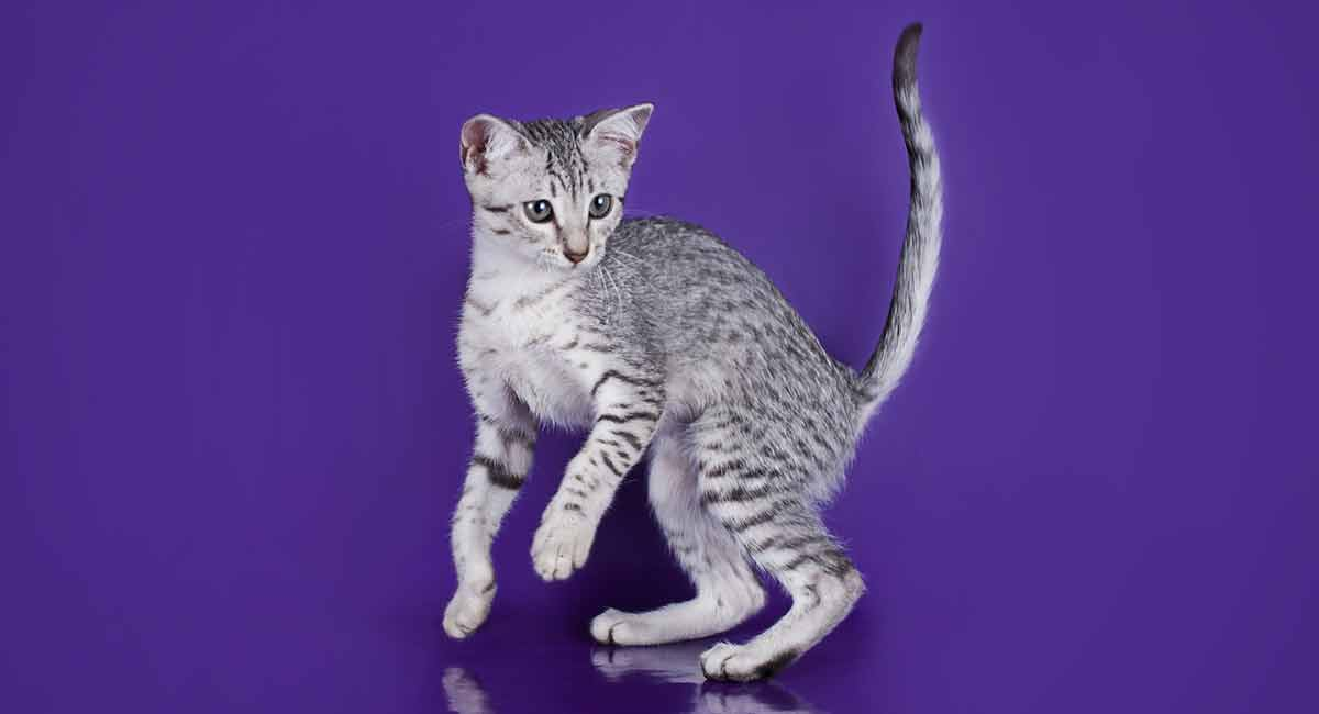 an analysis of the egyptian mau cat Dna analysis and genetic diseases of the cat.