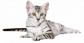 Egyptian Mau Size – How Big Will They Grow?