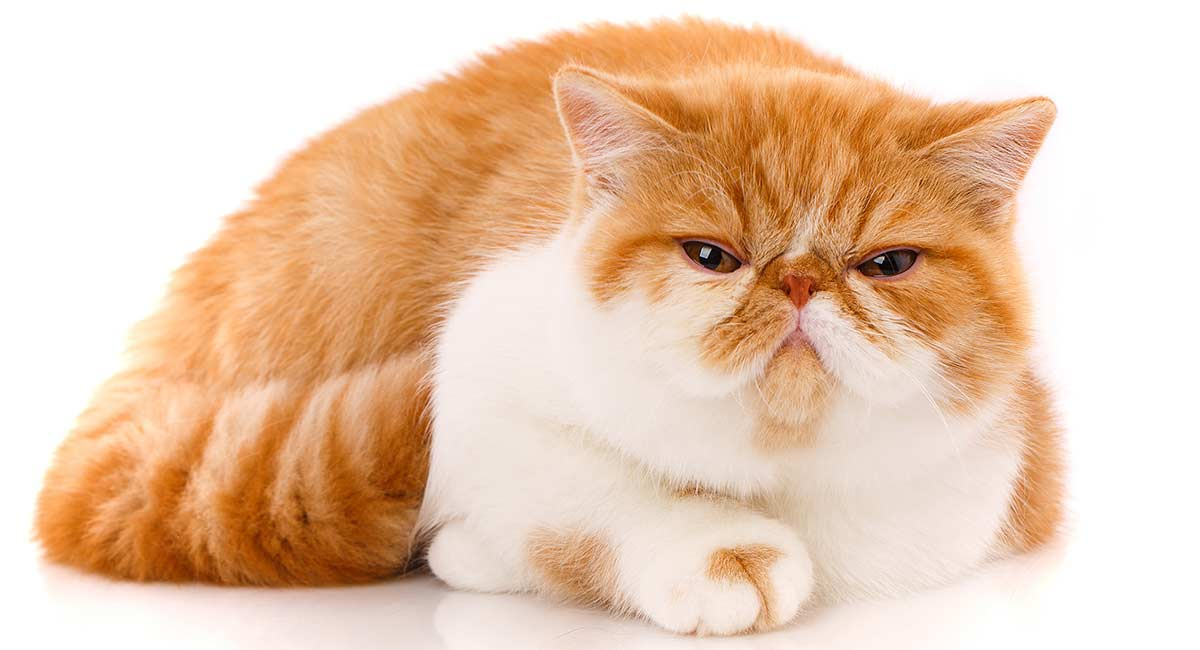 exotic shorthair food
