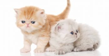 exotic shorthair lifespan