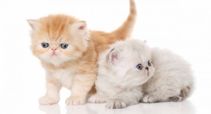 Exotic Shorthair Lifespan and Health Problems