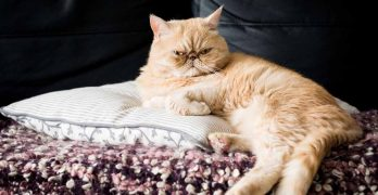Exotic Shorthair Personality – Are They As Grumpy As They Look?