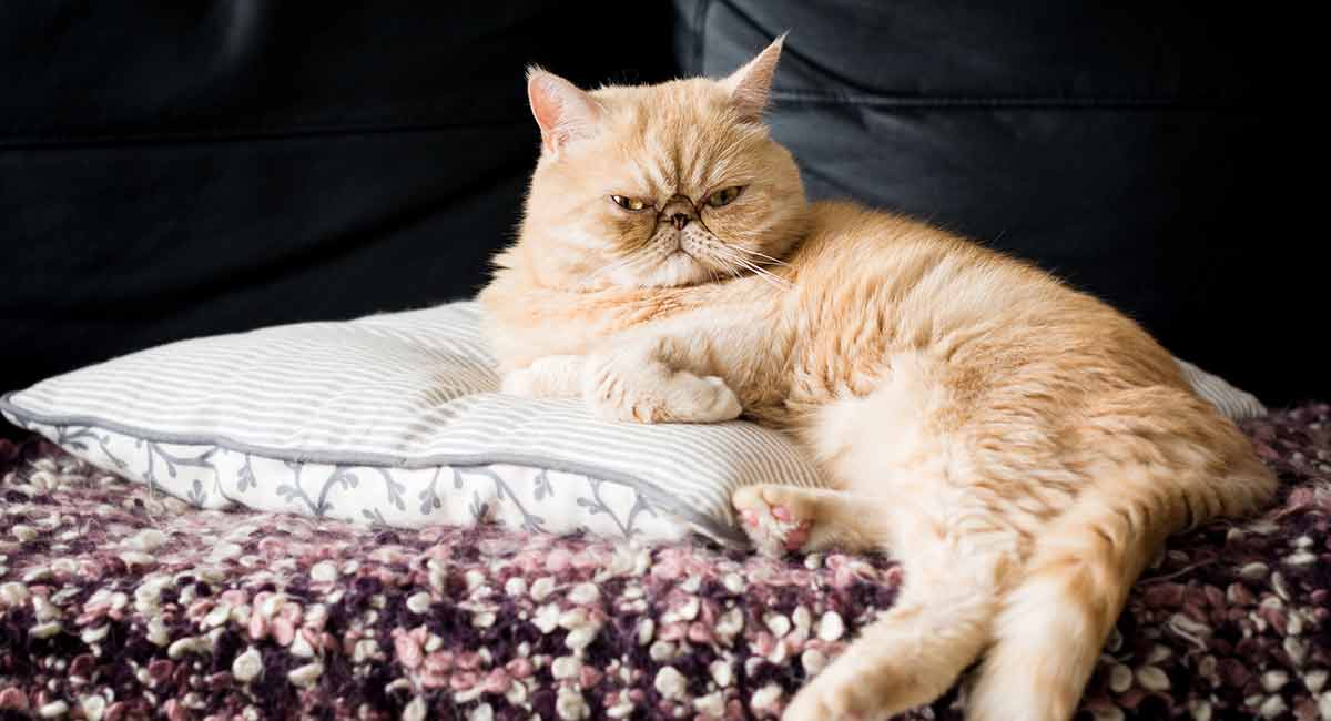 exotic shorthair personality
