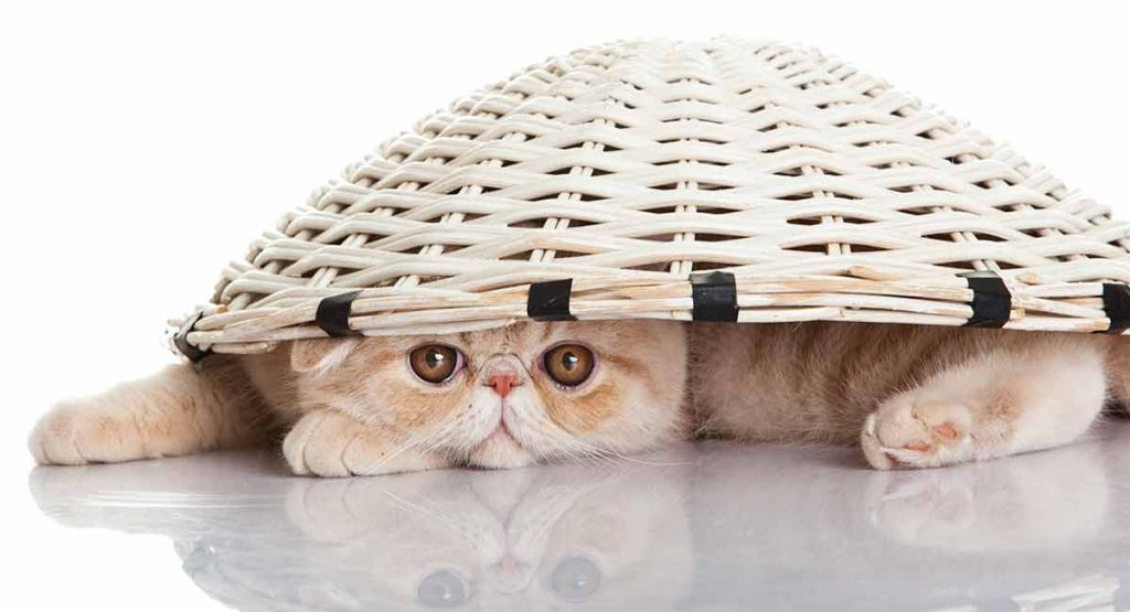 Exotic shorthair shedding may be a concern...