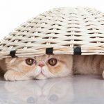 Exotic Shorthair Shedding And Grooming Requirements