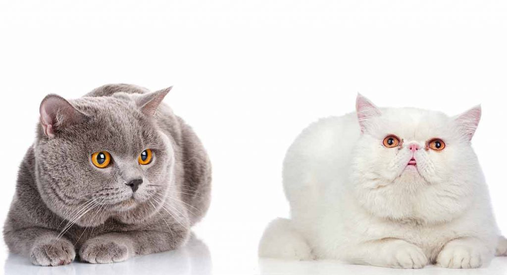 exotic shorthair vs british shorthair