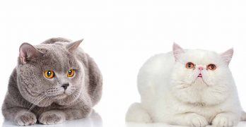 Exotic Shorthair Vs British Shorthair – Which Pet Is Best?