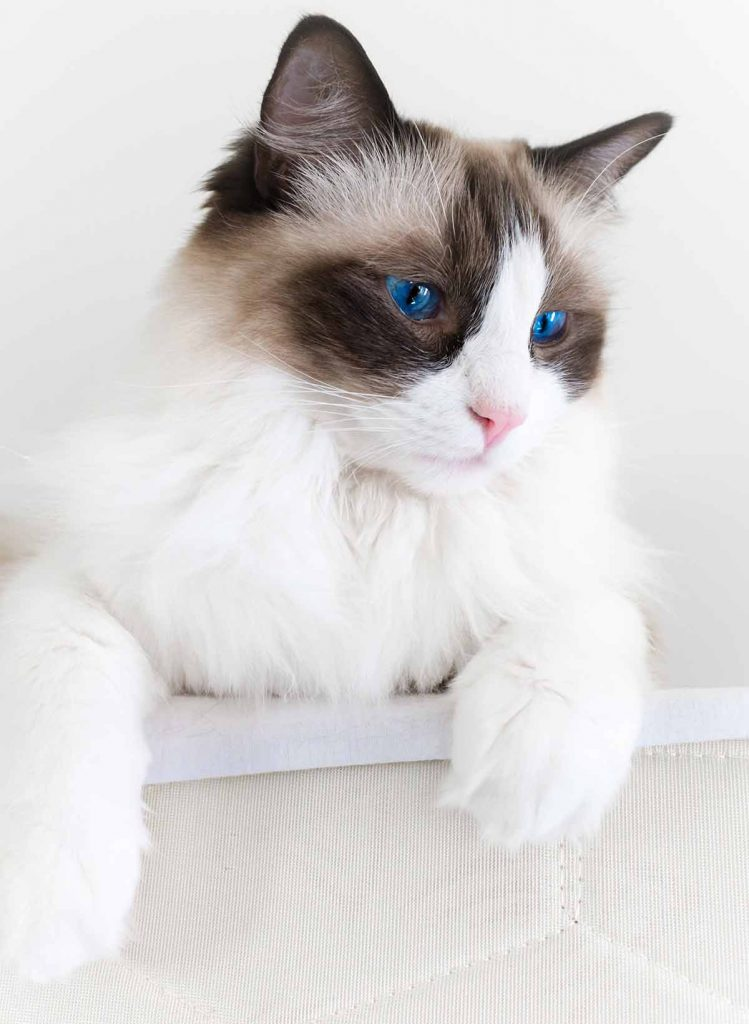What is the average Ragdoll cat size and weight?