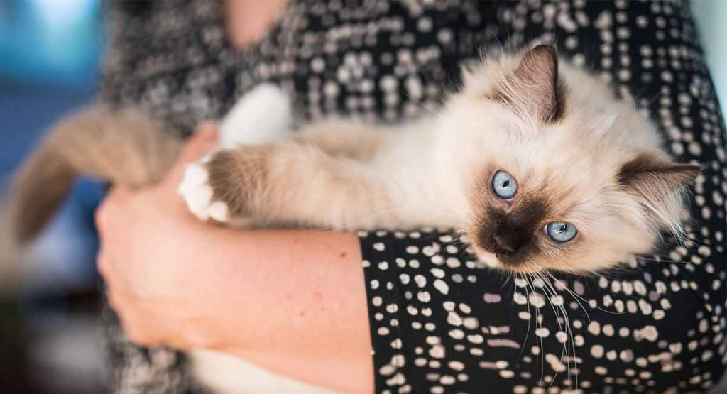How big are Ragdoll cats?