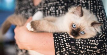How Big Are Ragdoll Cats – Your Ragdoll Size Guide