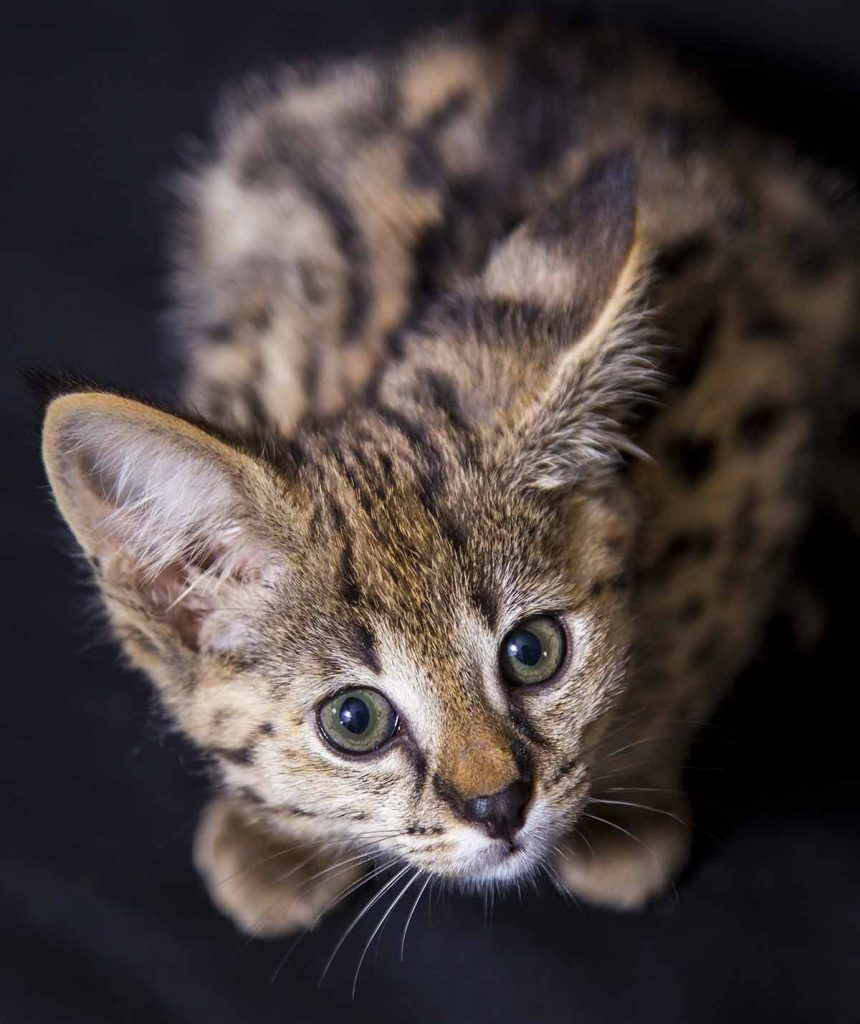 How big are Savannah kittens?