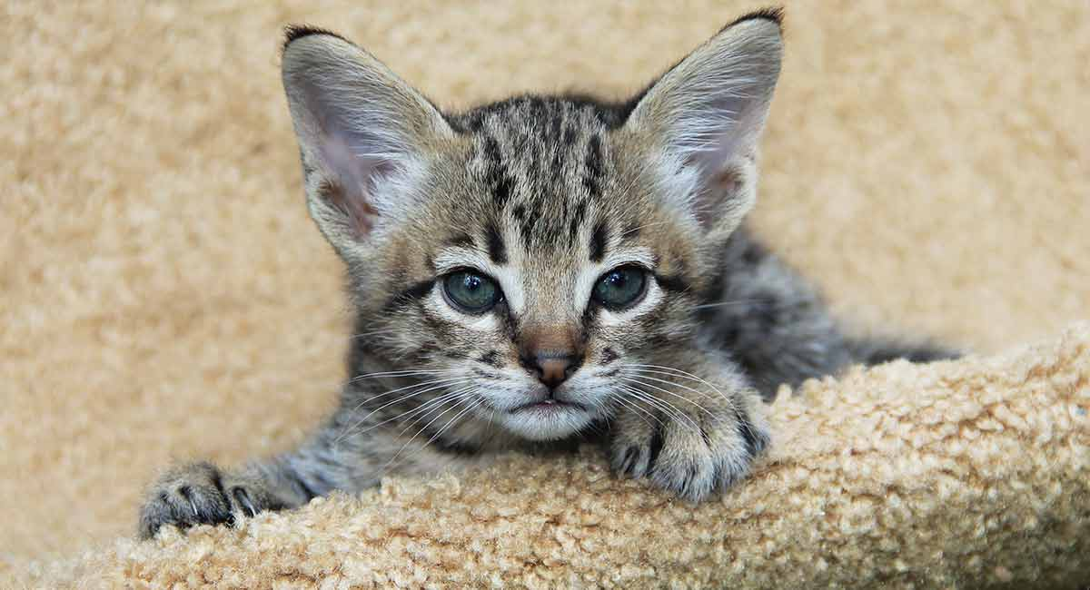 How Big Are Savannah Cats Your Serval Mix Size Guide
