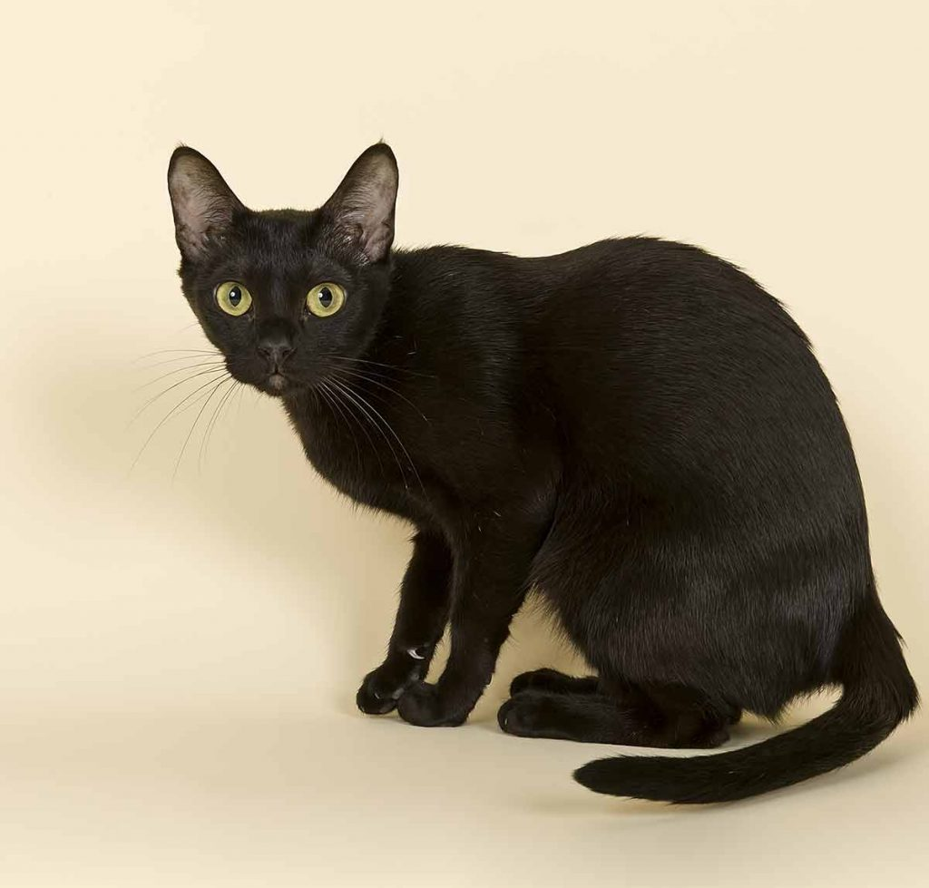 What is the Bombay cat life expectancy?