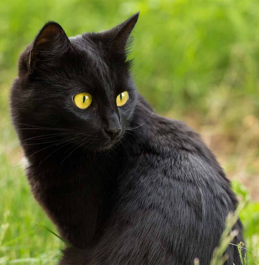 What is the Bombay cat cost?