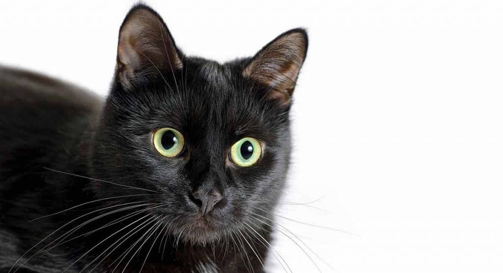 how much is a bombay cat?